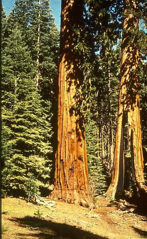 yosemite_sequoia_trees.jpg