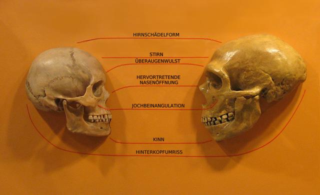Schädel im Vergleich: Neandertaler und Homo sapiens