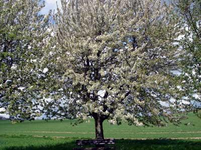Baumblüte im Mai