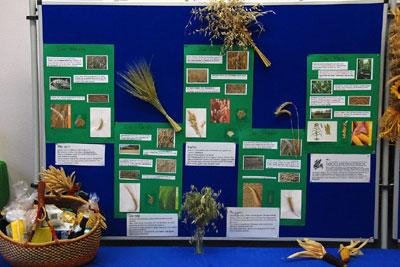 Informationswand zu Getreidesorten