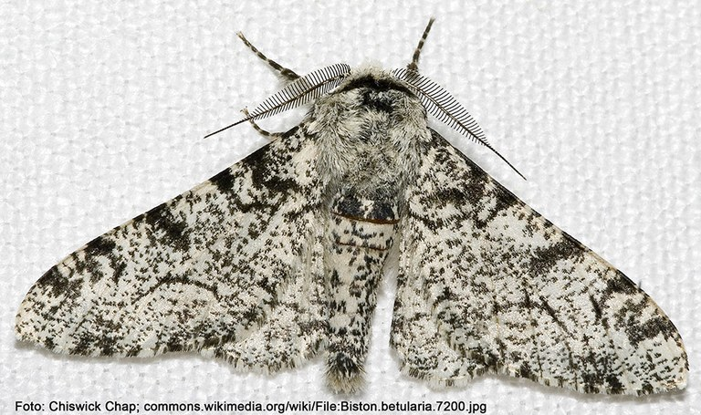 Weiße Form des Birkenspanners (Biston betularia)