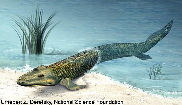 Tiktaalik, ein wichtiger fossiler Beleg für den Landgang der Wirbeltiere