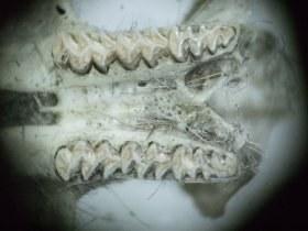cricetidae_backenzaehne_oberkiefer_280.jpg