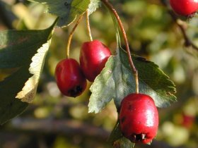 Früchte des Weißdorns
