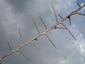 Sprossdornen des Weißdorns
