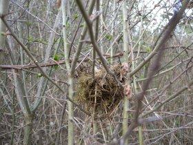 Vogelnest in einer Hecke