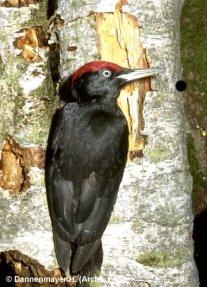Schwarzspecht Dryocopus martius, Männchen, © H. Dannenmayer
