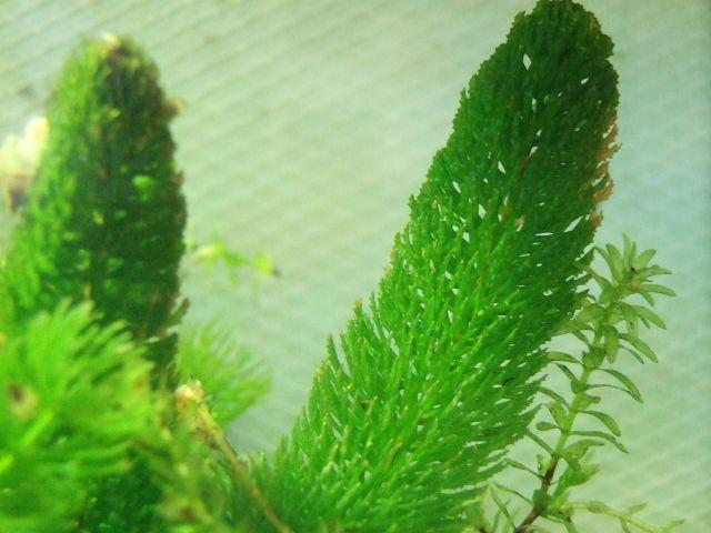 ceratophyllum1_640.jpg
