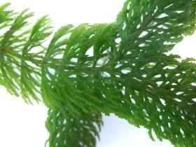 ceratophyllum3_280.jpg