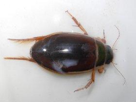 Gelbrand (Dytiscus marginalis)