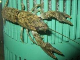 Flusskrebs im Aquarium