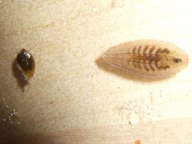 Schneckenegel Glossiphonia sp. verfolgt eine Schnecke.
