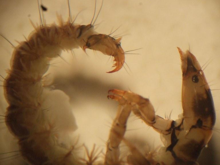 rhyacophila8.jpg