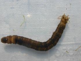 Larve der Wiesenschnake Tipula