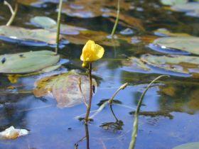 Blüte des Wasserschlauchs