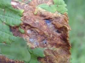 Rosskastanienblatt mit Befall durch die Kastanien-Miniermotte