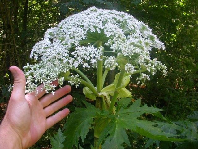 heracleum_mantegazzianum.jpg