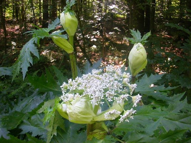 heracleum_mantegazzianum2.jpg