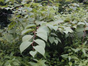 Japanischer Staudenknöterich (Reynoutria japonica), ein Neophyt