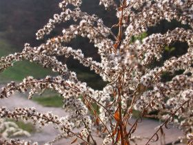 Reife Samen der Kanadischen Goldrute