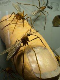 Weibchen von Stechmücken beim Stich (Rosenstein-Museum)