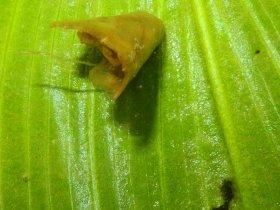 Laichkraut-Zünsler (Elophila nymphaeata)
