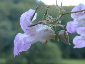 Indisches Springkraut (Impatiens glanduliflora)
