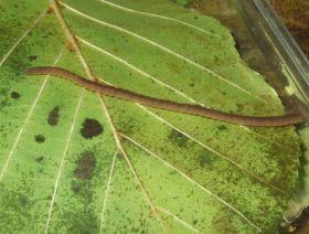 Glanzwurm Lumbriculus variegatus