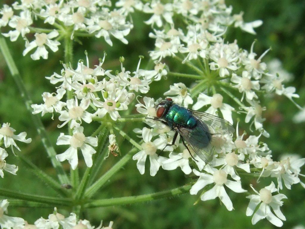 lucilia_auf_apiaceae_1024.jpg