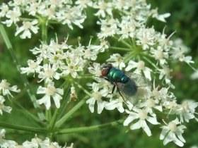 lucilia_auf_apiaceae_280.jpg
