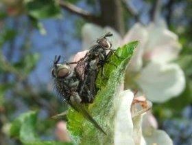 Fleischfliegen (Sarcophaga) bei der Kopulation
