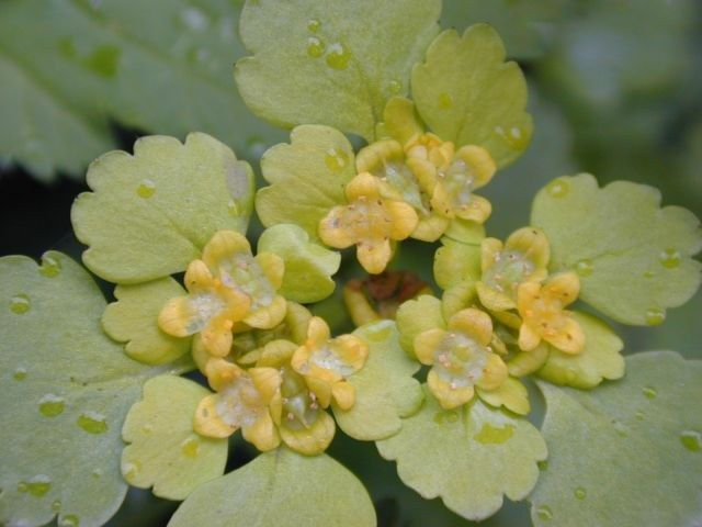 chrysosplenium_alternifolium1.jpg