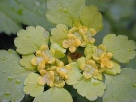 chrysosplenium_alternifolium1_280.jpg
