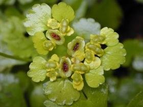 chrysosplenium_alternifolium2_280.jpg