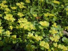 chrysosplenium_alternifolium_280.jpg