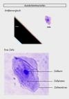 Vorschau Lösungsfolie Mundschleimhautzellen