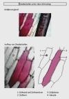 Vorschau Lösungsfolie Zwiebelzellen farbig