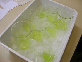 Zerkleinerte Zwiebeln und Extraktionspuffer im Eisbad