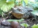 Abbildung einer Erdkröte