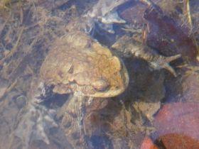 Erdkröte im Laichgewässer