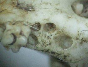 Der erste Backenzahn im Oberkiefer einer Brandmaus hat 4 Wurzellöcher