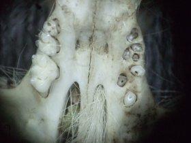Backenzähne einer Hausmaus im Oberkiefer, rechts mit Wurzellöchern