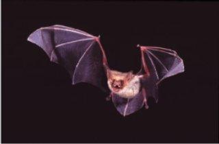 Fliegendes Mausohr (Myotis myotis) Copyright Christian Dietz