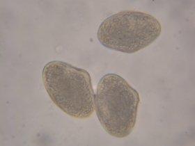 Blutroter Hartriegel (Cornus sanguinea)