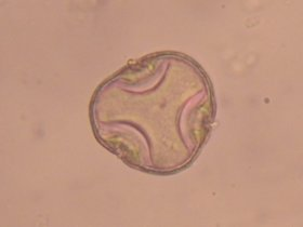 Linde (Tilia sp.)