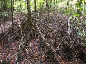 Mangrovenwald mit der Roten Mangrove (Rhizophora mangle)