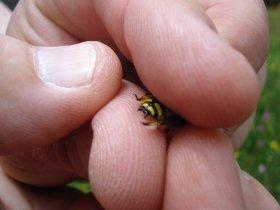 Dornen am Hinterleib eines Männchens der großen Wollbiene (Anthidium manicatum)