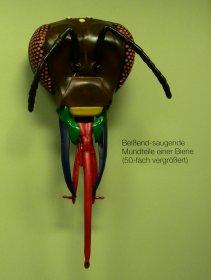 Mundwerkzeuge einer Honigbiene (Rosensteinmuseum Stuttgart)
