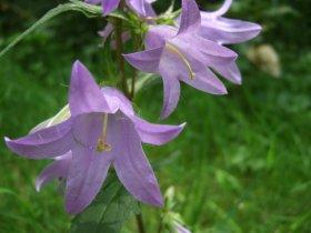 Nesselblättrige Glockenblume (Campanula trachelium)