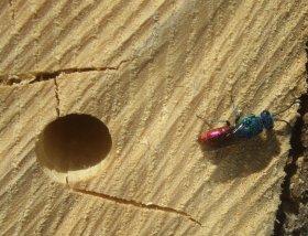 Parasitoide Goldwespe an Nisthilfe für Wildbienen